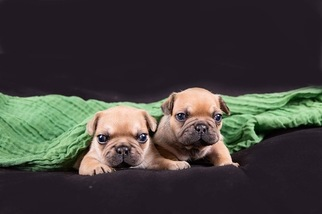 French Bulldog Puppy For Sale in GARBERVILLE, CA