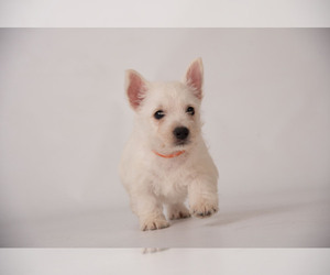 West Highland White Terrier Puppy for Sale in PLEASANTON, Kansas USA