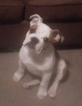 Bulldog Puppy For Sale in BELLEVUE, NE