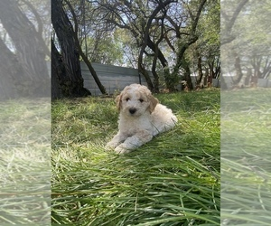 Poodle (Miniature) Puppy for Sale in ANNIS, Idaho USA