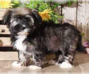 Havanese Dog for Adoption in MOUNT VERNON, Ohio USA
