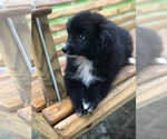 Small Photo #4 Labrador Retriever-Pomeranian Mix Puppy For Sale in SPENCER, TN, USA