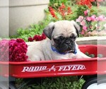 Small Photo #4 Pug Puppy For Sale in CHARLOTT HALL, MD, USA