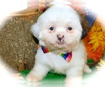 Small #2 Shih Tzu-Shih-Poo Mix