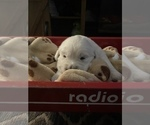Small Photo #4 English Cream Golden Retriever Puppy For Sale in ARCHBALD, PA, USA