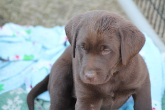 Labrador Retriever Puppy For Sale in GRAND PRAIRIE, TX