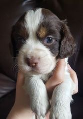 English Springer Spaniel Puppy For Sale in ANNVILLE, PA, USA