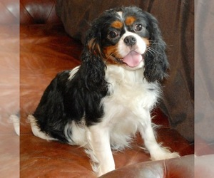 Mother of the Cavalier King Charles Spaniel puppies born on 03/20/2019