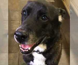 German Shepherd Dog-Labrador Retriever Mix Dog for Adoption in TARZANA, California USA