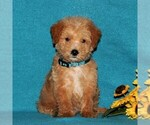 Small Miniature Labradoodle