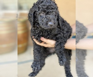 Labradoodle Puppy for sale in BAKERSFIELD, CA, USA