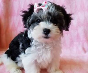 Morkie Puppy for sale in SARASOTA, FL, USA