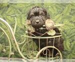 Small #12 Australian Shepherd-Poodle (Toy) Mix