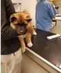 Akita Dog For Adoption in CHULA VISTA, CA, USA