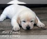 Puppy 2 Anatolian Shepherd-Great Pyrenees Mix