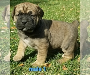 Boerboel Puppy for sale in BAKERSFIELD, CA, USA