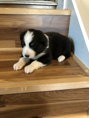 Australian Shepherd Puppy For Sale in CAYUSE, OR, USA