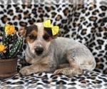 Small #7 Australian Cattle Dog-Jack Russell Terrier Mix