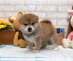 Small Photo #3 Shiba Inu Puppy For Sale in LOS ANGELES, CA, USA