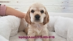 Cocker Spaniel Puppy For Sale in LA MIRADA, California,