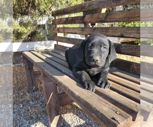 Labrador Retriever Puppy for sale in SANTA CLARITA, CA, USA