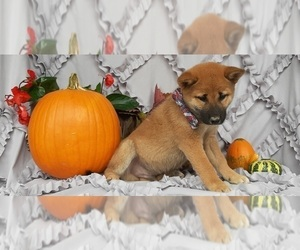 Shiba Inu Puppy for sale in LANCASTER, PA, USA