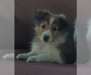 Shetland Sheepdog Puppy for sale in JOSHUA, TX, USA
