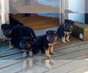 German Shepherd Dog Puppy for Sale in EAGLE POINT, Oregon USA