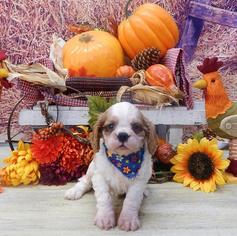 Cavalier King Charles Spaniel Puppy for Sale in ORO VALLEY, Arizona USA