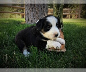 Border Collie Puppy for Sale in MARIPOSA, California USA