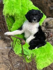Border Collie-Poodle (Miniature) Mix Puppy For Sale in LUDLOW, IA, USA