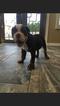 Olde English Bulldogge Puppy For Sale in EL PASO, TX, USA