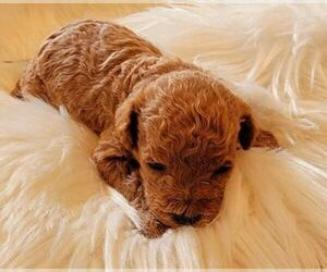 Maltipoo-Poodle (Miniature) Mix Puppy for sale in ROCKFORD, MI, USA