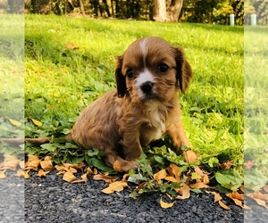 Cavalier King Charles Spaniel Dog for Adoption in AVOCA, New York USA