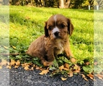 Small Photo #1 Cavalier King Charles Spaniel Puppy For Sale in AVOCA, NY, USA