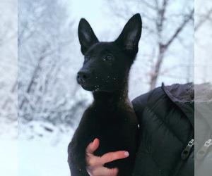 Dutch Shepherd Dog Puppy for Sale in STRASBURG, Virginia USA