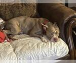 Small #18 Staffordshire Bull Terrier Mix