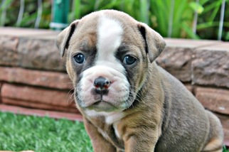 Puppyfinder com: Olde English Bulldogge puppies puppies for sale