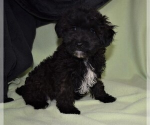 YorkiePoo Puppy for sale in BARNESVILLE, KS, USA
