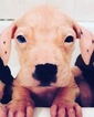 American Pit Bull Terrier Puppy For Sale in HOUSTON, TX, USA