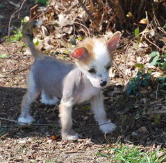 Chinese Crested Puppy For Sale in GARLAND, TX