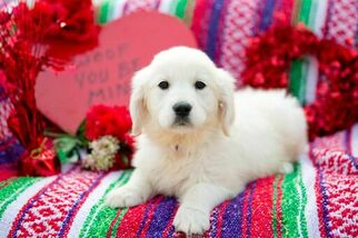 English Cream Golden Retriever  Puppy For Sale in PLYMOUTH, OH, USA