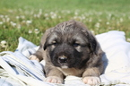 Caucasian Shepherd Dog Puppy For Sale in GLASGOW, KY, USA