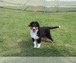 Small #1 Bernese Mountain Dog-Collie Mix