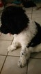 Goldendoodle Puppy For Sale in MIDLAND, TX