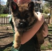German Shepherd Dog Puppy For Sale in DENVER, CO, USA