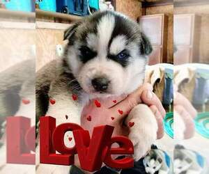 Siberian Husky Puppy for sale in FALMOUTH, MI, USA