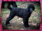 Poodle (Standard) Puppy For Sale in ARDMORE, North Carolina,