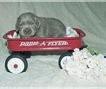 Small #25 Labrador Retriever
