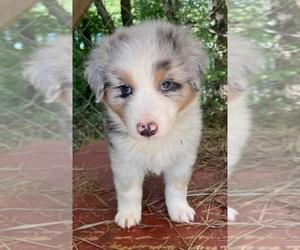 Australian Shepherd Puppy for sale in ROCK SPRING, GA, USA